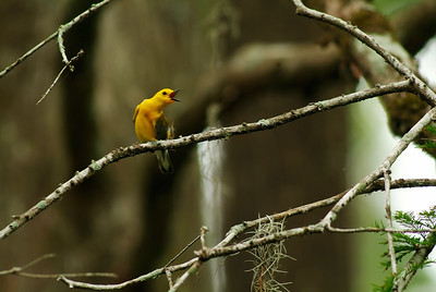 Prothonotary Warbler photographed in Jesse Jones Park