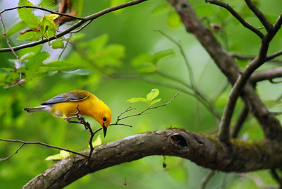 Prothonotary Warbler in Jesse H. Jones Park in north Harris County, TX
