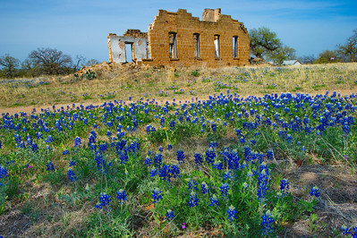 Pontotoc, Texas Ghost Town on Hwy 71, Mason County Texas Longhorn in Bluebonnets along Hwy 71