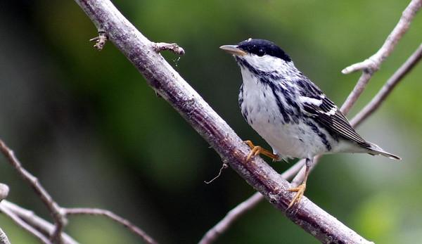 Blackpol Warbler