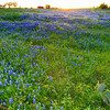 Washington County 2014, Field of Bluebonnets on Flewellen Rd