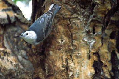 White-breasted Nuthatch photographed in Estes Park, CO.