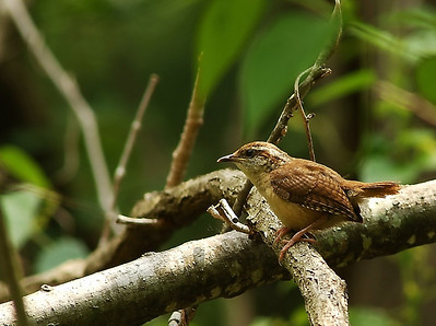 Carolina Wren, photographed at the Edith L. Moore Sanctuary on a May morning