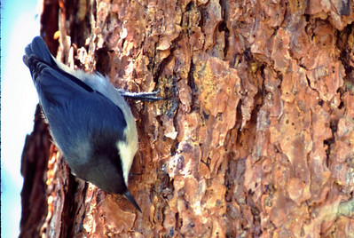This little White-breasted Nuthatch was climbing up and down a large pine tree picking insects out of the bark.  He was photographed in Rocky Mtn National Park.