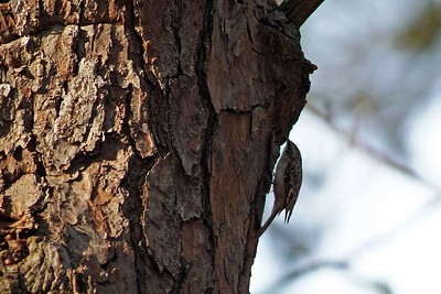 This Brown Creeper is so small many people miss seeing him.  They like the big pine trees found in Bear Creek Park, Harris County, TX where this photograph was taken.