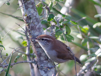 This Bewick's Wren was photographed in Uvalde County near Camp Wood, Texas.