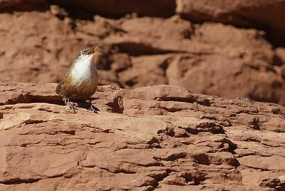 Canyon Wren, photographed at Slip Rock State Park, Arizona.
