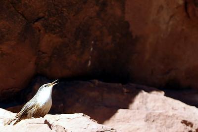 Canyon Wren photographed in Slide Rock State Park, Sedona, AZ