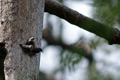 These Brown-headed Nuthatches are sometimes found in family units.  This one was photographed on the Jones State Forest in Montgomery County off FM1488.