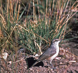 The Rock Wren is most commonly found in Western US.  This bird was photographed in Creede, Colorado.