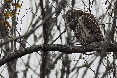 Owls have the ability to rotate their head around so they can see what is behind them.  As this Barred owl turned his head I snapped this photo then moved to another location. Barred owl, Brazos Bend State Park