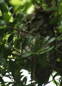 This sleepy little Eastern Screech Owl (Gray Phase) is a resident of Russ Pitman Park, Bellaire, TX.