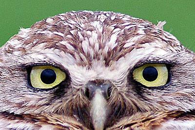 Burrowing Owl, Texas City, TX