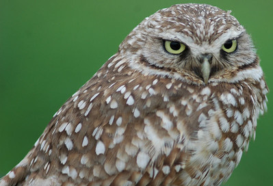 This Burrowing Owl took up winter residence in a new subdivision in Texas City, TX in 2005.  He was not camera shy.