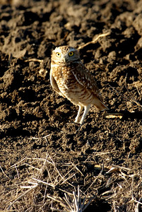 This little Burrowing Owl was photographed in Williamson County, TX from my bus window on a Kleb Woods field trip.
