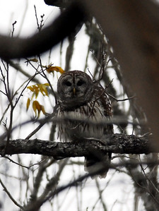 Barred Owl photographed in Brazos Bend State Park 1-25-2009