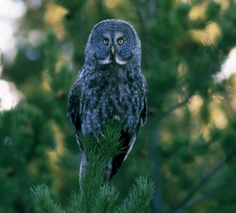 This Great Gray Owl was photographed with just minutes of daylight left.  All I had in the my Nikon was Fuji Velvia with an ISO set at 40.  The Great Gray is the largest owl in North America.  This magnificant animal is so huge I was amazed it could fly.  He was photographed in Yellowstone National Park.