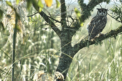 This photo was taken in Otemendi Nature Reserve north of Buenos Aires, Argentina.  This is a Striped Owl which my guide spotted.