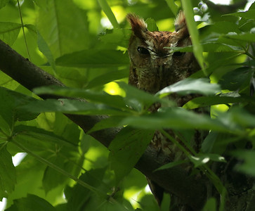 Eastern Screech Owl (red phase)