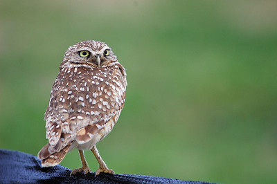"""Word of a Burrowing Owl at a Texas City home construction site in February of 2004 got out over the internet.  I followed the directions and found this little guy.  He was very photogenic posing on a fence with a sign that read """"BURROWING OWL""""."""