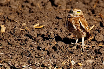 Burrowing Owl photographed in Williamson County, TX