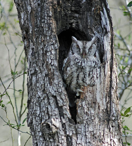 Eastern Screech Owl, Bentsen Rio Grande River State Park. This is the same owl, same tree, different day different perch.