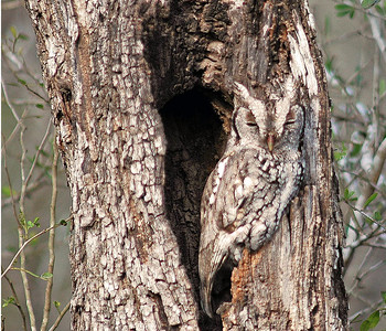 "The Eastern Screech Owl is a fierce little predator.  His call often signals other songbirds for ""mobbing"" him.  His camoflaged feathers hide him from other birds so that he can sleep during the day.  This Eastern Screech Owl was photographed in Bentsen-Rio Grande State Park."