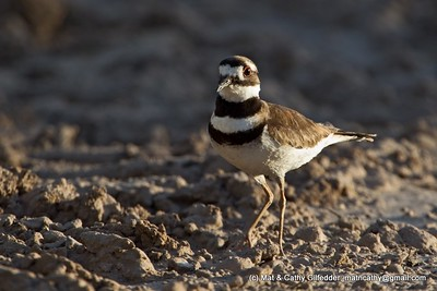Killdeer 6118