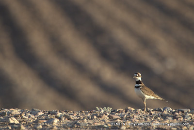 Killdeer 6113