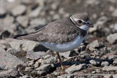 Semipalmated Plover 5610