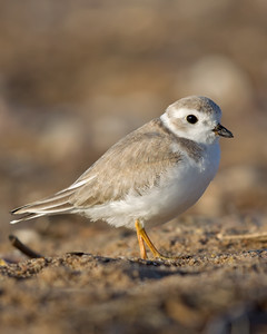 Piping Plover 8373