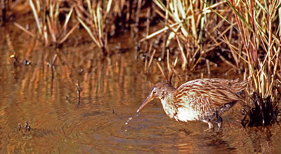 Clapper Rail photographed in Bolivar wetlands