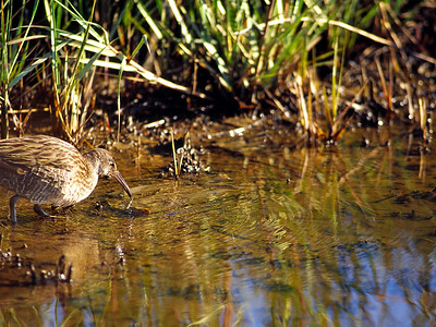 Clapper Rail, photographed in a Bolivar marsh
