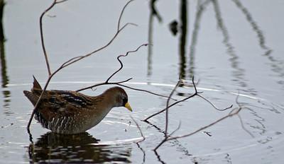 Sora photographed in Teal Marsh, Attwater Prairie Chicken NWR