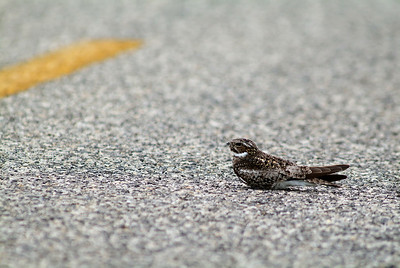 This Common Nighthawk was lying in the middle of Porter Road in the Katy Prairie.  His mate was on the high line.  They were busy with nesting activity.