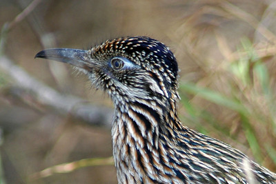 This Roadrunner was photographed at Bentsen Rio Grande State Park.