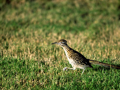 This Greater Roadrunner was after a grasshopper in Big Bend National Park.