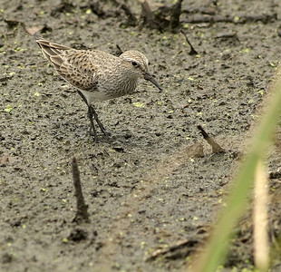 White-rumped Sandpiper at Brazos Bend State Park