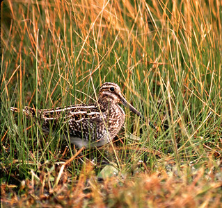 This is a Common Snipe, aka: Wilson's Snipe, photographed at Sheldon Lake State Park.
