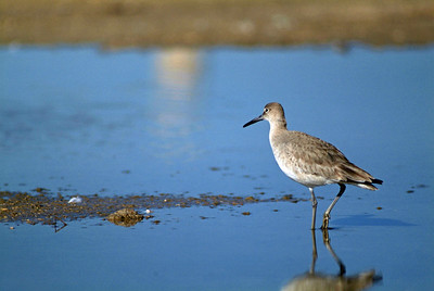 Willet photographed at Rollover Pass, TX