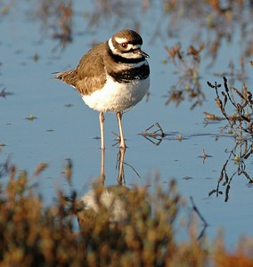 This Killdeer was photographed in the Brazoria National Wildlife Refuge on the entry road.