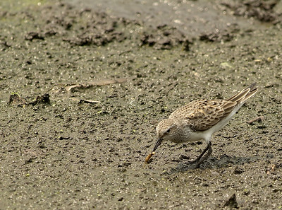 White-rumped Sandpiper at Brazos Bend State Park grabbing a worm from the mud before the Ibis gets it
