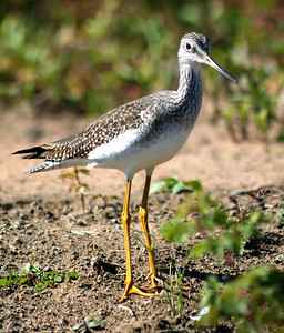 Greater Yellowlegs photographed at Attwater NWR