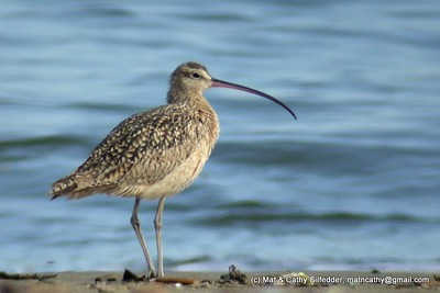 Long-billed Curlew 6918