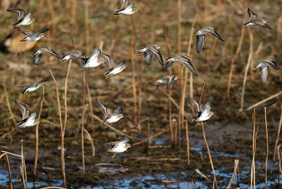 Western Sandpipers photographed in Attwater NWR.