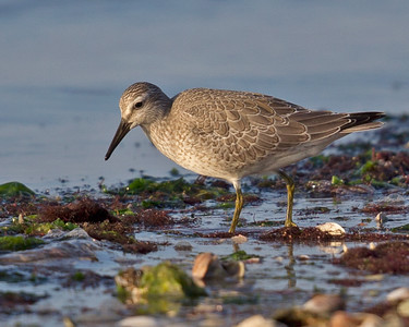 Red Knot 8340