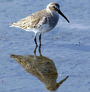 Dunlin on South Padre Island