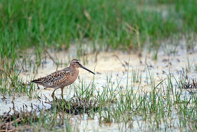 This Long-billed Dowitcher was photographed on Horseshoe Marsh in Bolivar site of one of the Houston Audubon sanctuaries.