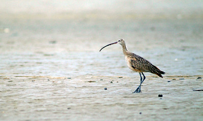 Long-billed Curlew on Bolivar beach