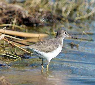 Spotted Sandpiper, photographed at Hornsby Bend in Austin, TX.